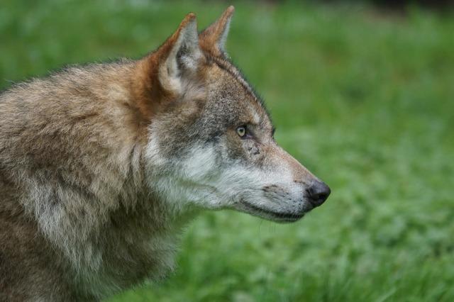 wolf-1682752_1920