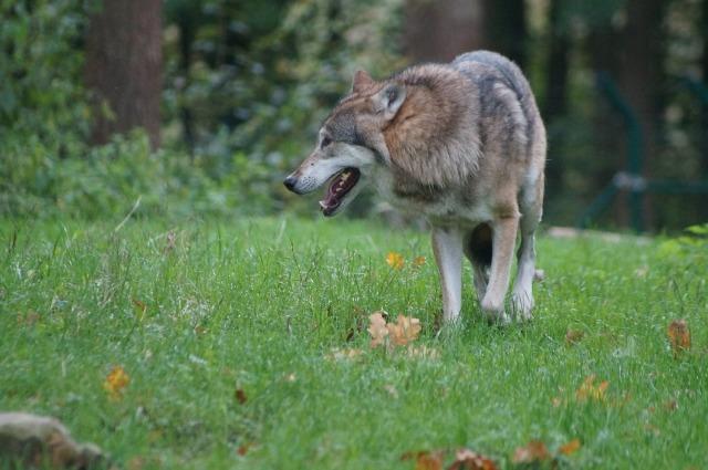 wolf-487528_1920