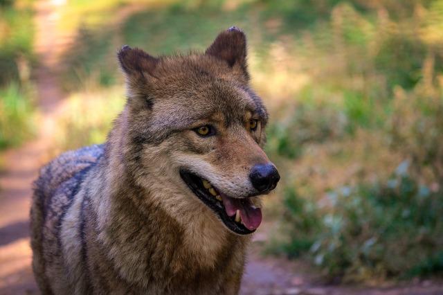 wolf-974056_1920
